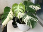 8. Monstera Variegata