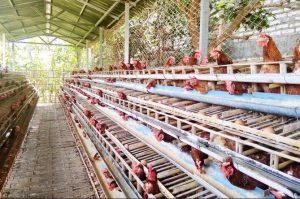 Modal-Bisnis-Ayam-Petelur