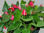 2.-Anthurium-Ferrierense