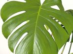 3.-Monstera-Borsigiana