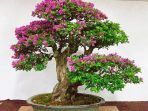 6.-Bonsai-Bougenville
